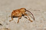 Weevil sp.
