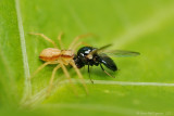 Wolf Spider Hatchling with Black Fly (Buffalo Gnat)