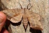 Walnut Sphinx (Amorpha juglandis)