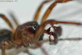 Spider sp. (Male)