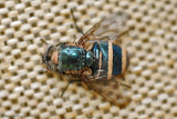 Blow Fly Infected with a Fungus
