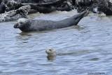 Harbor Seal & Gray Seals