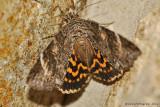 Locust Underwing