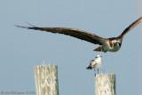 Osprey & Laughing Gull