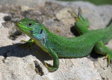 Lacerta trilineata ( Balkan Green Lizard.)