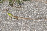 Snake-eyed Lizard, Ormögonödla (Ophisops elegans).