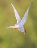 Sterna paradisaea - Artic Tern