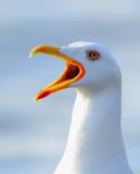 Larus fucus - Lesser-blackbacked Gull.