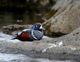 Histrionicus histrionicus - Harlequin Duck