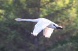 Cygnus cygnus - Whooper Swan.