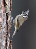 Crested-Tit - Parus cristatus
