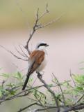 Redbacked Shrike
