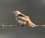 Rufous bush robin