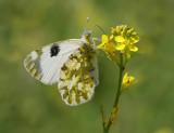 Euchloe ausonia - Eastern Dappled White.