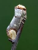 Buff Tip - Phalera bucephala
