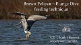 Brown Pelican plunge dive foraging.jpg