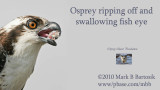 Dining the osprey way - ripping off and swallowing fish eye.jpg