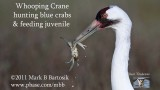 Whooping Crane hunting blue crab -  feeding juvenile.jpg