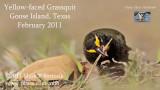 Yellow-faced Grassquit foraging.jpg