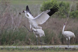 Whooping Crane dance elements: bow, wing spread, leap, attack posture and object-toss