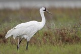 Whooping Crane - Scarbaby defecating