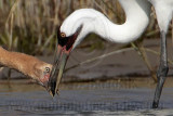Whooping Crane - Animal food items - Bivalvia (bivalves)