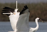 Whooping Crane - second winter subadult plumage