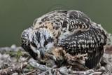 Osprey - juvenile manipulating sibling carcass