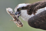 Osprey - female moving offspring carcass around the nest