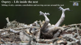 Osprey – Life inside the nest - Sibling rivalry cainism cannibalism and moving carcass around the nest .jpg