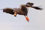 Snail Kite on wing