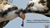 Osprey - swallowing all fish body parts including head and internal organs.jpg