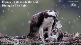 Osprey - Dining in the rain.jpg