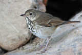 Hermit Thrush Quintana October 29, 2011