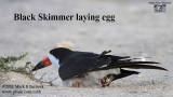 Black Skimmer laying egg.jpg