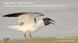 Specialist Laughing Gull stealing Black Skimmer egg.jpg