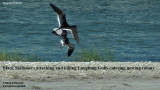 Black Skimmers killing Laughing Gulls.jpg