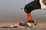 American Oystercatcher joining flies to dine on dead fish