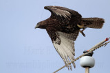 Harlan's Hawk - Quintana - November 13, 2011