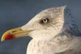 Lesser Black-backed Gull  - adult head and neck feathers
