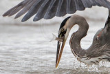 Great Blue Heron catching mullets - surf zone - Quintana November 19, 2011