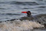American Oystercatcher - bathing - diving into a wave