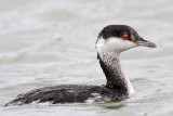Horned Grebe feeding on shrimps - Texas City Dike - December 23, 2011