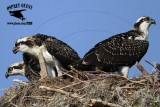 Osprey - Nests with 3 Fledglings
