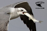 Laughing Gull on wing trying to swallow mullet