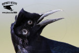 Boat-tailed Grackle - ear