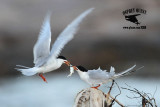 Forster's Tern - courtship feeding - March 28, 2012