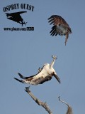 Osprey – Intraspecific Interactions:  defensive mid-air flick with outstretched talons