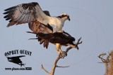 Osprey - copulation (cloacal kiss) - on perch