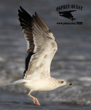 Winter Asymmetrical Multi Loci Secondary Molt - 3cy (second winter) Lesser Black-backed Gull